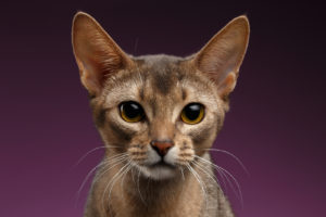 Abyssinian Photo Gallery