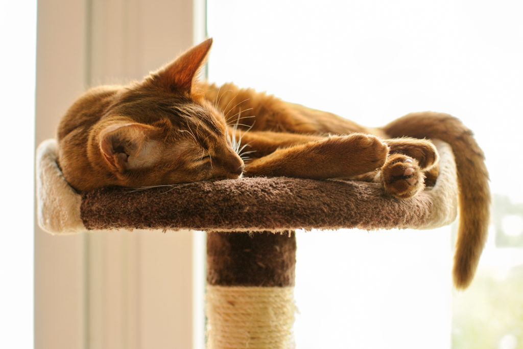 What Are the Most Common Colors of Abyssinian Cats?