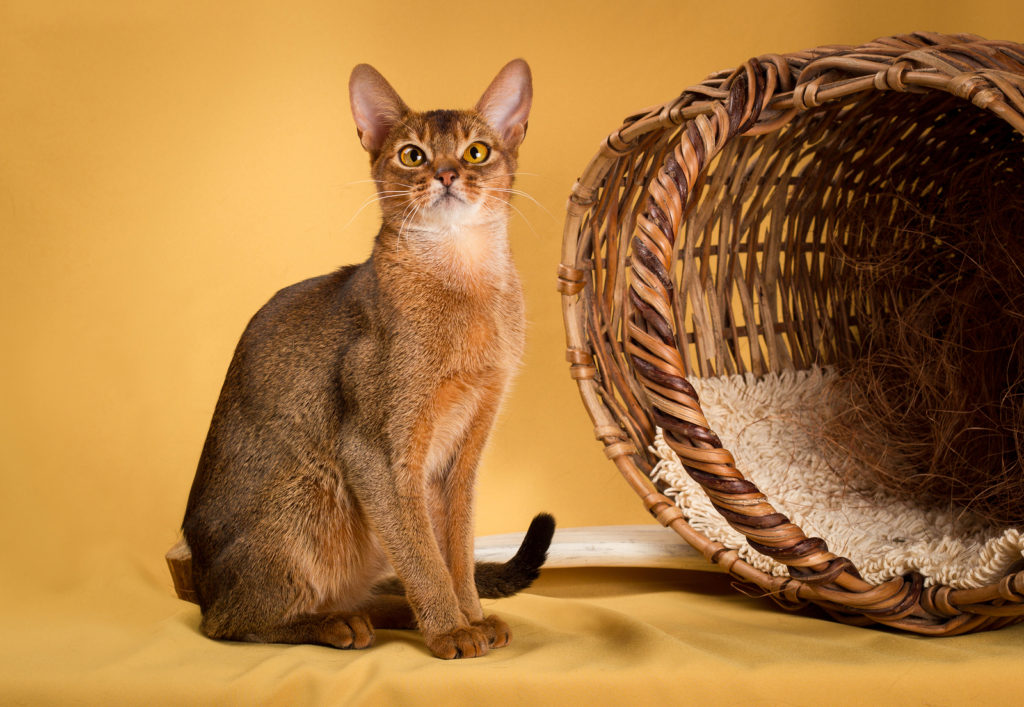 What is the Weight Range for Adult Abyssinian Cats?