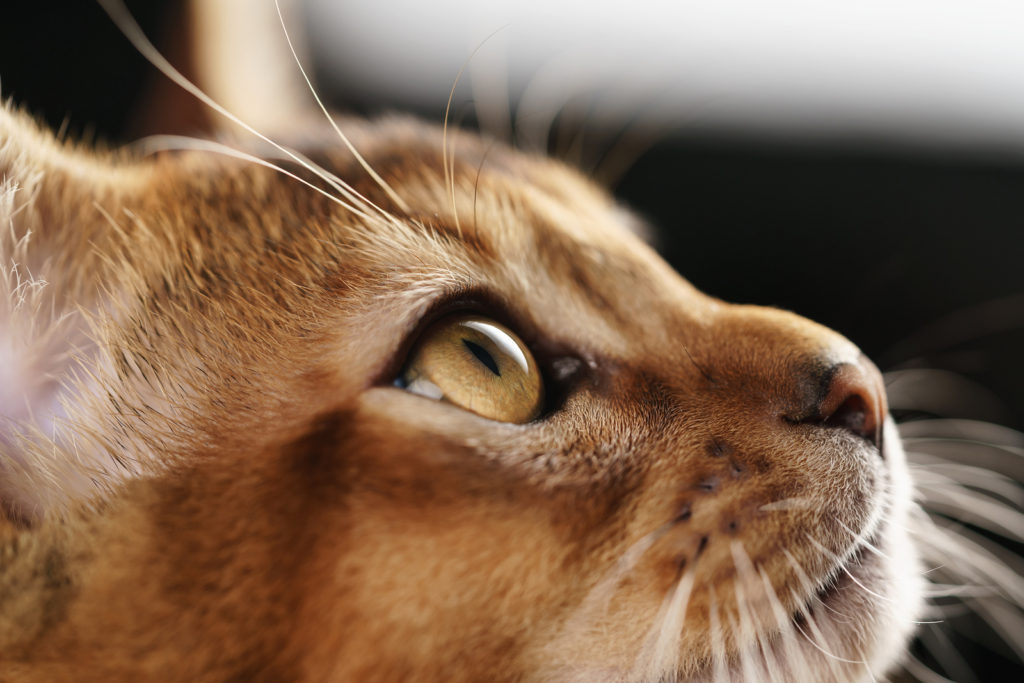 How to Tell if Your Abyssinian Cat is a Mix