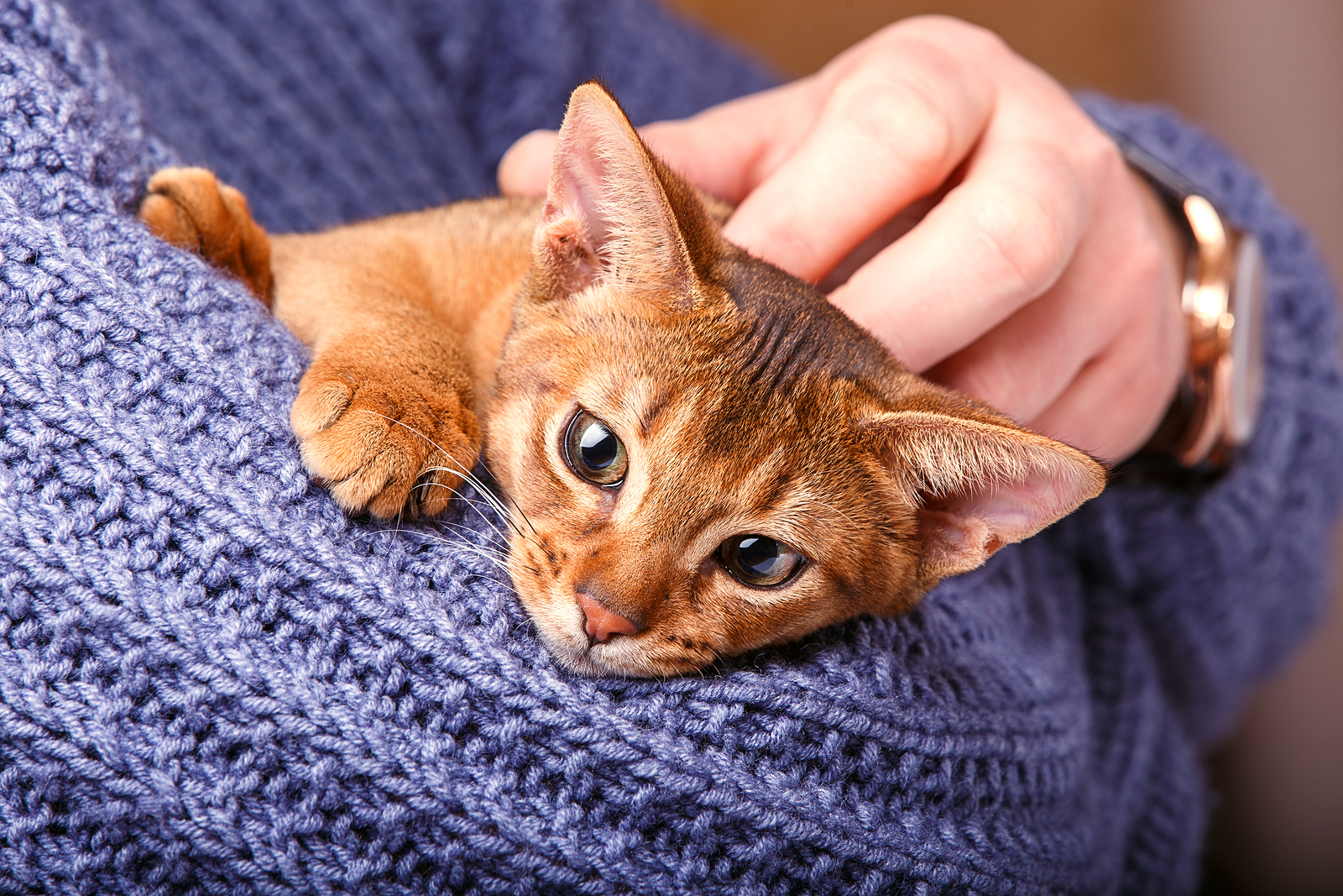Anibis Chat Bengal what is the normal price for an abyssinian cat