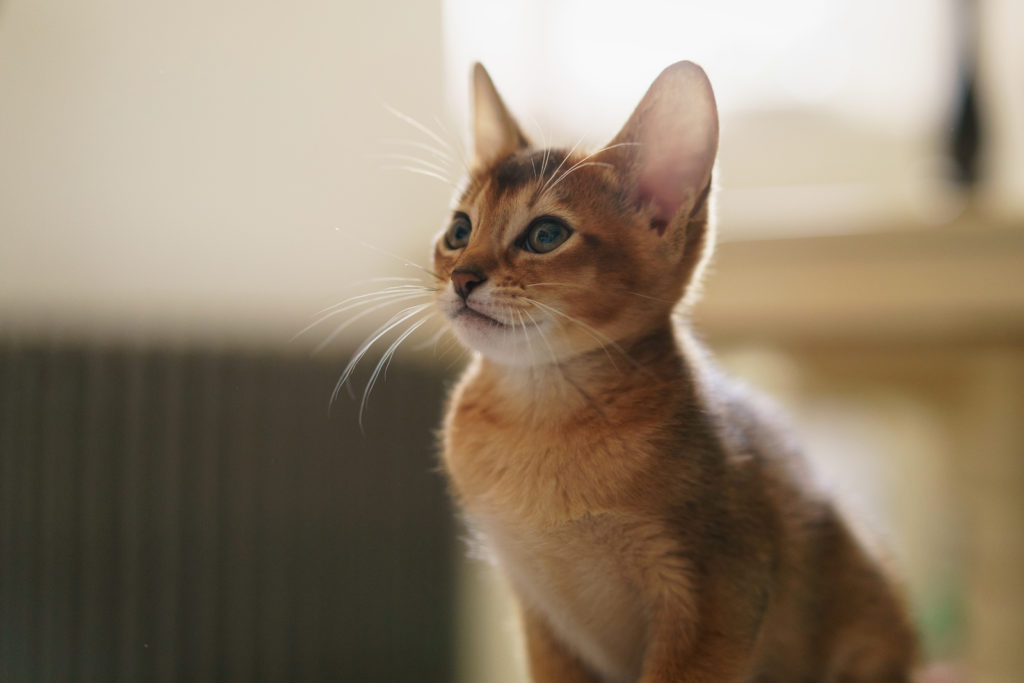 Are Abyssinian Cats Good With Children?