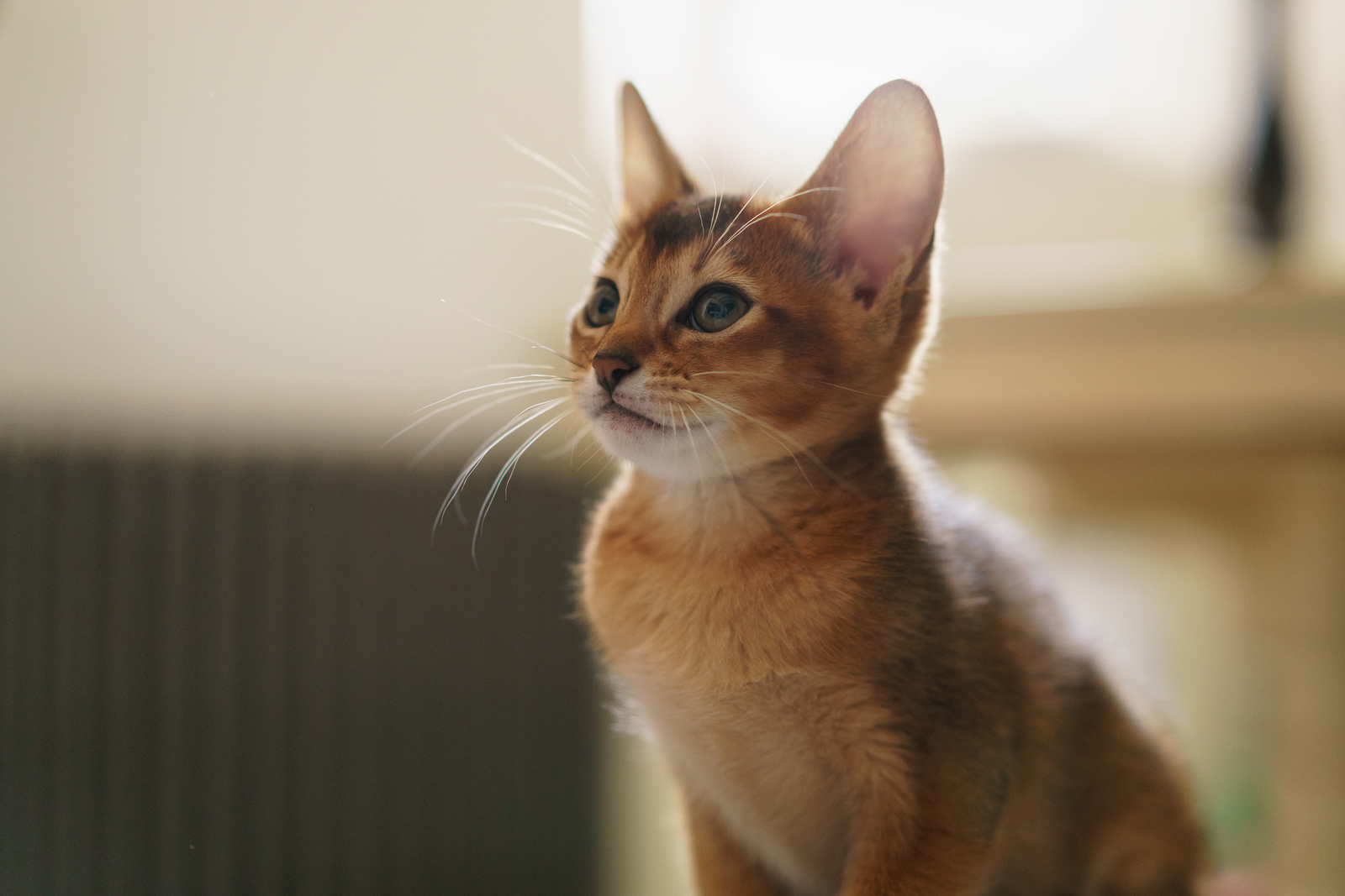 Abyssinian Cat Nature