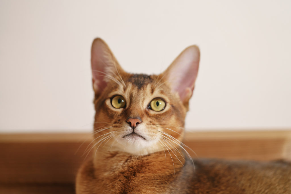How to Spot an Abyssinian