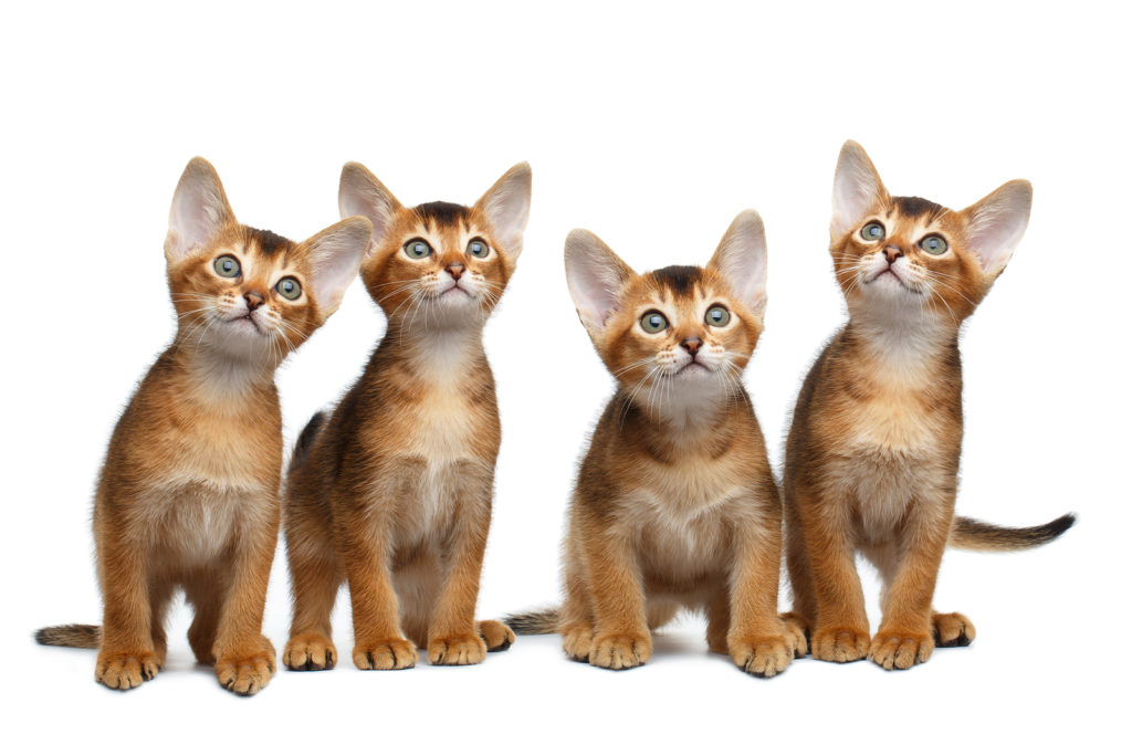 What is the right Abyssinian cat weight?