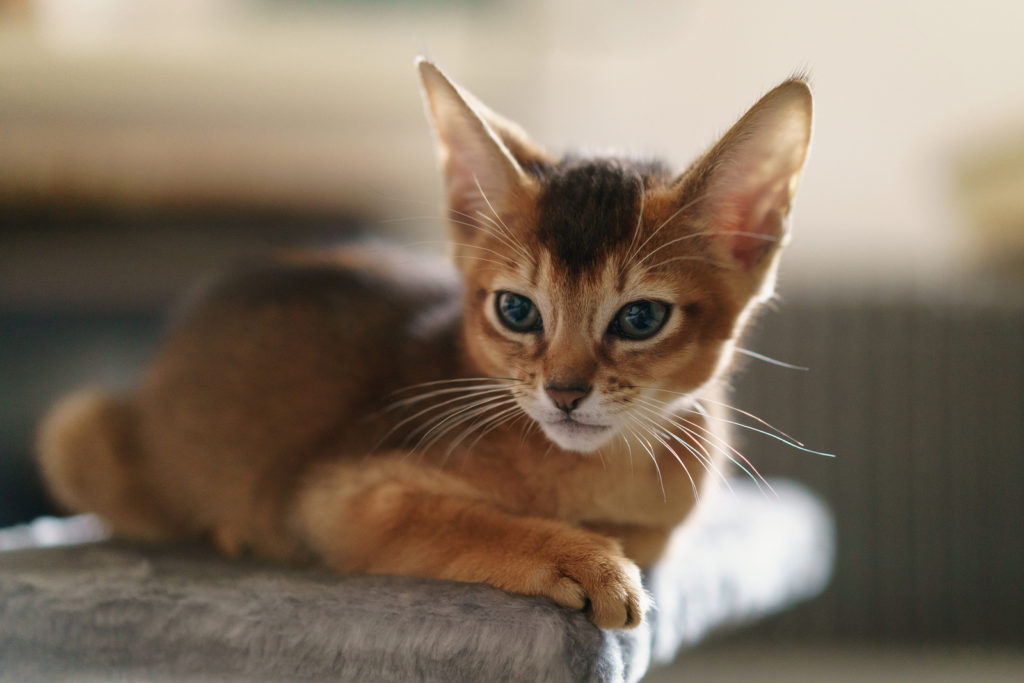 Wild Color Abyssinian Kitten